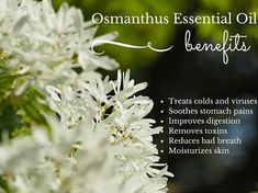 Osmanthus Essential Oil Health Benefits Listed