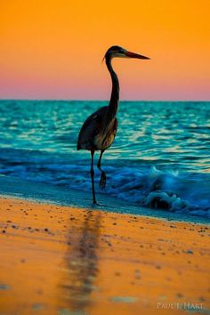 Beach, the place to be… Great Blue Heron, Gulf of Mexico sunset