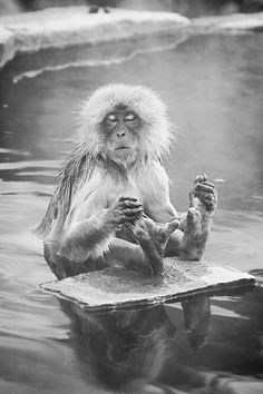 Snow-Monkey or Japanese macaque (Macaca fuscata) Primates, Mammals, Animals And Pets, Baby Animals, Funny Animals, Cute Animals, Beautiful Creatures, Animals Beautiful, Japanese Macaque