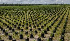 """Top palm oil producer sues green group over deforestation allegations  Malaysian palm giant, IOI, lost business after it was suspended from the Roundtable for Sustainable Palm Oil's certification scheme over deforestation allegations in Indonesia.A spokeswoman for Nestle said that following the suspension by RSPO: """"we immediately ceased sourcing from the plantations at the centre of the concerns raised."""