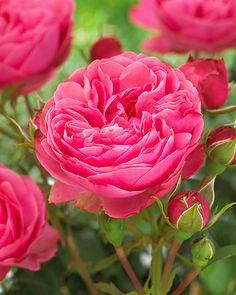 Ihastuttava vuoden 2019 Viherpeukalot -ruusumme! Flowers, Rose, Plants, Garden