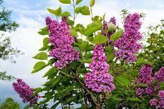 Plant syren i din skovhave. Duften og de smukke blomster er indbegrebet af sommer.   #skovhave