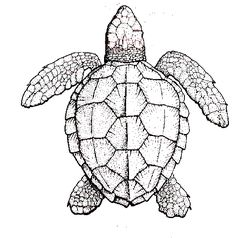 "Students can crate a collage of sea ""experiences"" the turtle may have had on the shell. Public Domain Drawing of Logggerhead sea turtle: Graphic Credit - NOAA, Jack Javech"