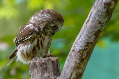 I'm So Saw-ry.  Northern Saw-Whet Owl looking quite pensive.