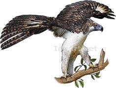 Full color illustraion of a Philippine Eagle (Pithecophaga jefferyi)