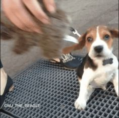 puppy, ears, floppy, beagle GIF