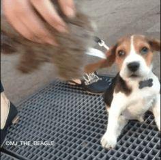 puppy, ears, floppy, beagle GIF