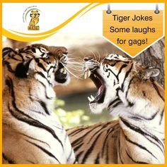 Tiger Jokes: Some laughs for gags! Why are tigers religious? A: Because they prey frequently, and prey as a family! Tiger Images, Tiger Wallpaper, Tiger Love, Monochrome Photography, Favim, Photo And Video, Black And White, Cats, Animals