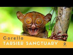 Tarsier and Wildlife Sanctuary in Corella, Bohol - YouTube Bohol, Philippines, Wildlife, Youtube, Youtubers, Youtube Movies