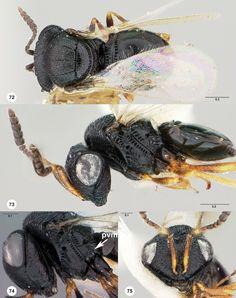 Trissolcus occiduus female