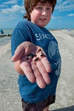 MustDo.com | Look at the shark teeth he found at Caspersen Beach Venice, Florida! Photo by Debi Pittman Wilkey.