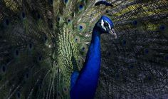 An iridescent peacock spreads its tail feathers, called a train, in an impressive display. It is believed that the females—peahens—choose their mates based on the size and color of these feather trains. Your Shot photographer Cristina del Campo Martin photographed this pheasant in Madrid, Spain. PHOTOGRAPH BY CRISTINA DEL CAMPO MARTÍN, NATIONAL GEOGRAPHIC YOUR SHOT