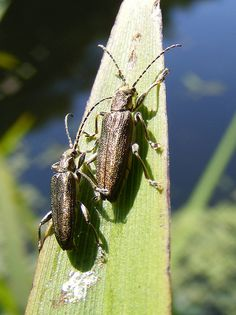 found on sedges at the margins of open water. Only a single recording in Shropshire from Leaf Beetle, Rare Species, Open Water, Beetles, View Image, The Beatles, Insects, Leaves, World