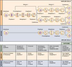 This illustration compares meiosis and mitosis. In meiosis, there are two rounds of cell division, whereas there is only one round of cell division in mitosis. In both mitosis and meiosis, DNA synthesis occurs during S phase. Synapsis of homologous chromosomes occurs in prophase I of meiosis, but does not occur in mitosis. Crossover of chromosomes occurs in prophase I of meiosis, but does not occur in mitosis. Homologous pairs of chromosomes line up at the metaphase plate during metaphase I…