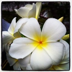 Always loved #frangipani I almost can't believe my luck when I see them in my garden