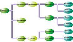 "Botanical Source « Alginate « KIMICA corporation | manufacturer and world-wide supplier of ""Alginate / Alginic acid"" Alginic Acid, Propylene Glycol Alginate, Calcium Alginate"
