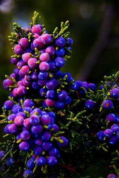 Juniper Berries have a strong detoxifying, tonifying and astringent properties making it a perfect tonic for fluid retention, cellulite and tired heavy limbs.