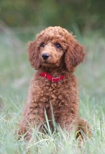 red Standard Poodle puppy. I think my next poodle will be a red!!