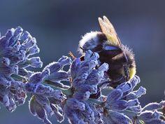 A bumblebee sleeping
