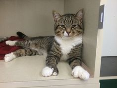 Man Takes a Chance on Shelter Cat with Giant Mittens, It Changes His Life. (with updates) Hemingway Cats, Polydactyl Cat, Big Animals, Funny Animals, Lots Of Cats, Pretty Cats, Pretty Kitty, Crazy Cats, Cool Cats