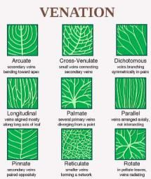 Leaf structure and arrangement is unique to every tree species. A tree leaf shape, arrangement, margin and venation is important to tree ID. Botanical Art, Botanical Illustration, Botanical Drawings, Leaf Structure, Flower Structure, Illustration Inspiration, Tree Identification, Plant Science, Science Table
