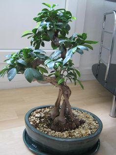 ficus retusa Ficus Microcarpa, Bonsai Ficus, Outdoor Patio Designs, Deco, Indoor Garden, House Plants, Orchids, Cactus, Planting Plants