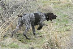German Shorthair Pointer #dog