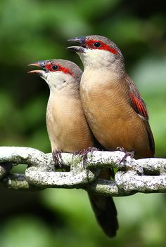 Crimson-rumped waxbill is a species of estrildid finch found in northeastern Africa