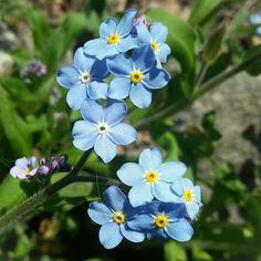 꽃마리 ; 물망초와 아주 비슷, 같은 지치과