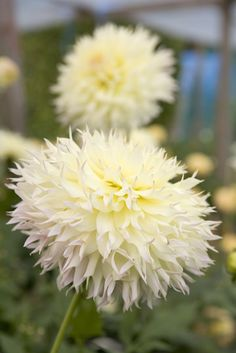 White and Yellow Dahlia 'Citron de Cap'. Photo by Sarah Cuttle. Herbaceous Perennials, Flower Garden, Dahlia, Planting Flowers, White Flowers, Beautiful Flowers, Cottage Garden Plants, Flowers, Dahlia Flower