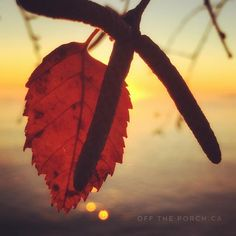 Fall leaves at sunrise on Lake Ontario. Taken by Alison Pentland. Photo Series, Flora And Fauna, Fall Leaves, Get Outside, Nature Photos, Ontario, Sunrise, Photo And Video, Instagram