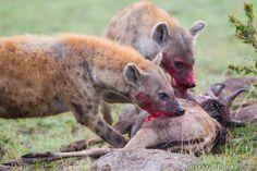 Hyenas   Wild Wildlife