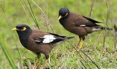 Seputar Burung Jalak Nias, Ciri Fisik, Makanan, dan Suara Kicauannya