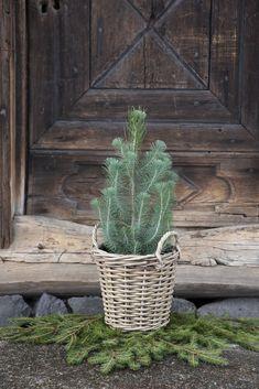 vintergrønne planter Decorative Planters, Plants, Planters, Plant, Planting