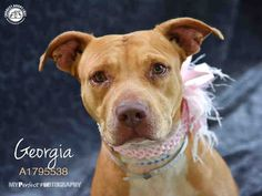 GEORGIA - URGENT - Miami Dade Animal Services in Miami, Florida - ADOPT OR FOSTER - 1 year old Female Am. Bulldog Mix - at shelter since June 26, 2016