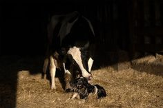 """""""...The worst scream I have ever heard, and I have heard them all first hand [in slaughterhouses, animal research labs, fur farms, behind the scenes of circuses and rodeos], is a mother cow on a dairy farm. She screams and bellows her lungs out day after day for her stolen baby to be given back to her, and I can only imagine the same scream every woman in this room would make if somebody held you down after birth and stole your newborn baby from you..."""" - Gary Yourofsky.........):"""