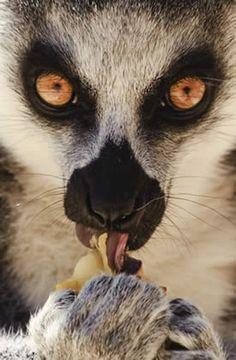 Un lémur de cola anillada come fruta en el zoológico de Madrid