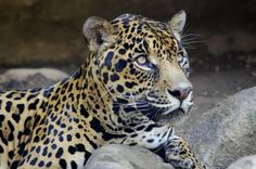 El Refugio Foundation is a Cali-based non-profit organisation providing shelter for 120 wildlife animals saved from illegal trade Jaguar, Panther, Shelter, Wildlife, Animals, Space, Shelters, Animales, Animaux