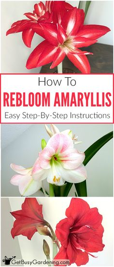 With the right care, amaryllis bulbs rebloom year after year! Getting an amaryllis to rebloom is easy. Here are the steps to rebloom your amaryllis bulbs. Amaryllis Plant, Amaryllis Bulbs, Amaryllis Care, Container Plants, Container Gardening, Gardening Tips, Indoor Gardening, Organic Gardening, Flower Gardening