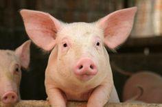 Wie artgerecht wohnen Bio-Rind und Bio-Schwein? | eatsmarter.de