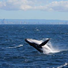 (That's whale speak, to those not in the know! Water Life, Whale Watching, Ocean Life, Whales, How To Know, Dolphins, Cute Animals, Adventure, Free