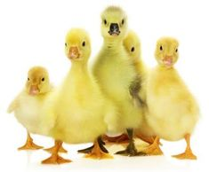 Planning To Divorce? Better Get Your Ducks In a Row!  It sounds so cold, so hard, so... unromantic! But, the truth is, nothing about divorce is romantic. And, as cold and callous as it sounds, planning for your divorce before you jump in with both feet can make the difference.  http://divorcedmoms.com/articles/planning-to-divorce-better-get-your-ducks-in-a-row  #FamilyLawRights #divorceplanning #divorce
