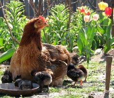 Maman poule avec ses poussins autour.... http://www.les-poules.com