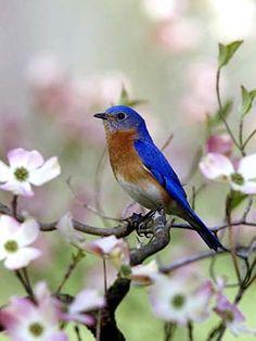 eastern bluebird peach tree blossom - Google Search