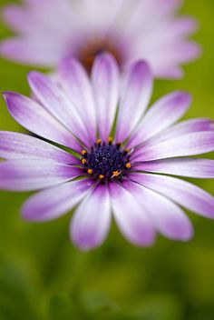 MY FAVORITE FLOWER (AFRICAN DAISY) . VERY HEARTY AND EASY TO GROW