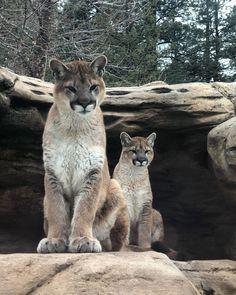 Cheyenne Mountain Zoo, Mountain Lion, Lions, Aquarium, Brother, Gallery, Easy, Travel, Animals