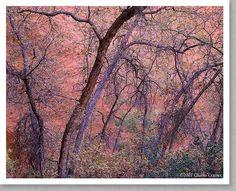 Charles Cramer - Gambel Oak, Harris Wash, Utah