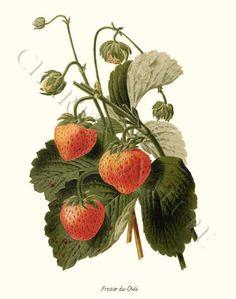 'Fraisier du Chili' giclee print via Charting Nature.