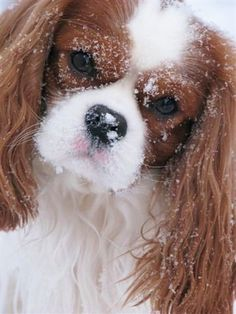 Snowy the Cavalier King Charles Spaniel Dog King Charles Spaniel, King Charles Puppy, Cavalier King Charles Dog, Beautiful Dogs, Animals Beautiful, Cute Animals, Spaniel Puppies, Cocker Spaniel, Cute Puppies