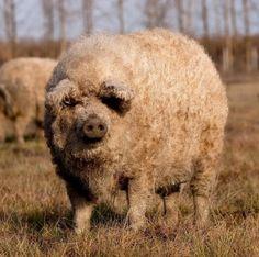 Zo lief! Deze varkens zien eruit als schaapjes | NSMBL.nl